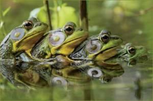 contest_frogs1_Lamoureux