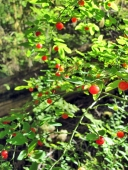 Red huckleberries on Larch Mountain.