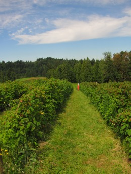 Raspberry season at Kerslake Farms.